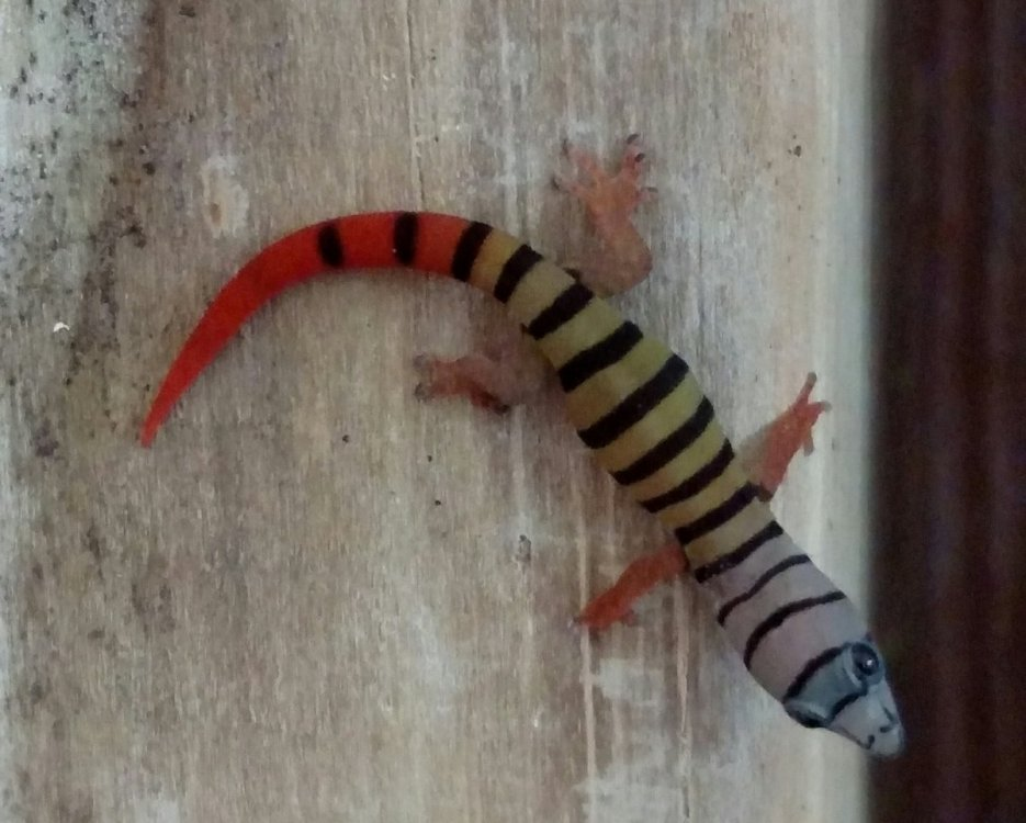 gecko.thumb.jpg.28a45ddbadc84637472d093f13d706a1.jpg