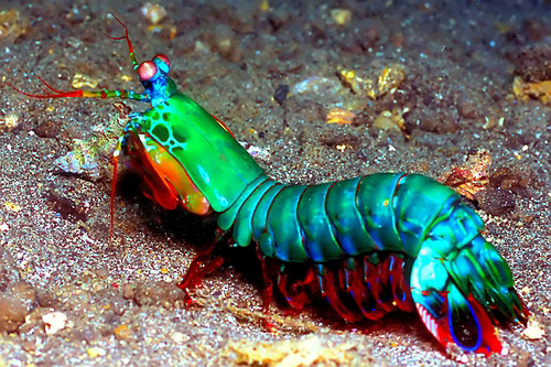 mantis_shrimp.jpg.6cf4259fa792233f6ccc720af238b8f4.jpg