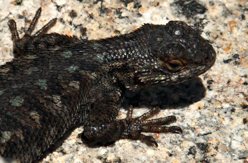 LLC_1141-Lizard.jpg.0798a9c16cff199a9fcf628eab7a520f.jpg