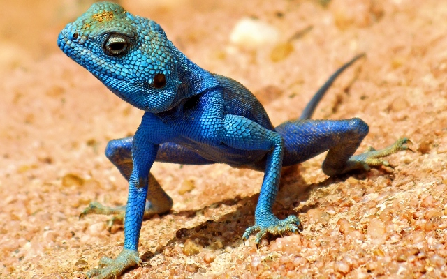 5a56f701c4474_blue-lizard-wallpaper-15522-16030-hd-wallpapers(640x400).jpg.e3efbffd1de077dc2343bf7bbf26fdab.jpg