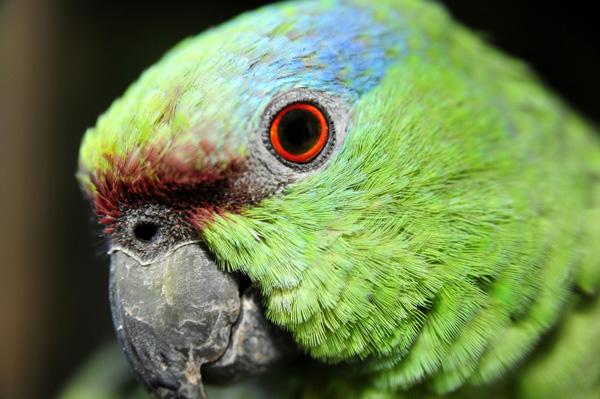 parrot-eye_rediv1.jpg