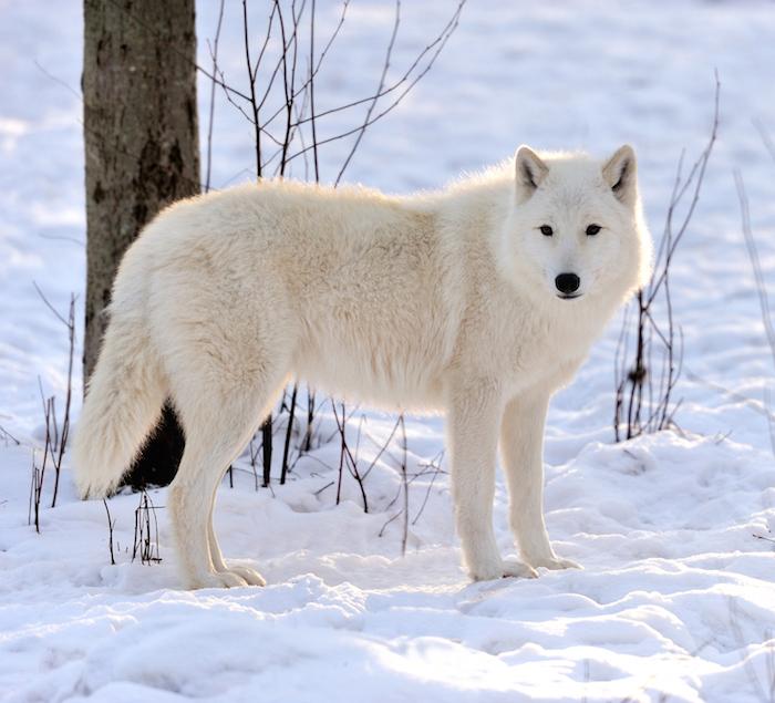 5ad60661bebd1_whitewolf.jpg.2d72bf6e42c2c4ed558467fc8986dd9b.jpg