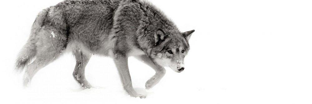 gray-wolf_3.thumb.jpg.a571576c746f20e54ccd3b5d1d70adea.jpg