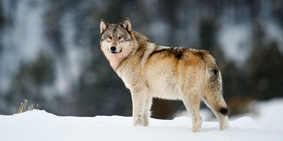 gray-wolf_sam-parks.png.72e0a974563799162325f79cd11b5f60.png