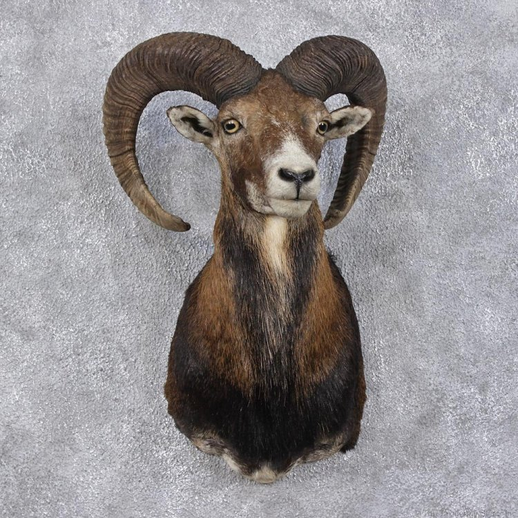 mouflon-sheep-ram-shoulder-taxidermy-head-mount-m1-_12471-for-sale-_-the-taxidermy-store.jpg