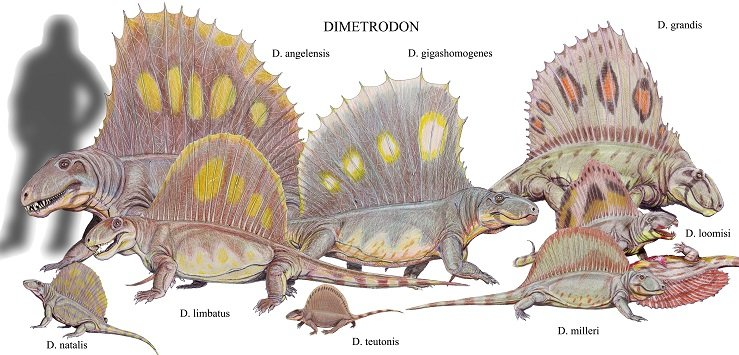 Dimetrodon_species2DB15.jpg