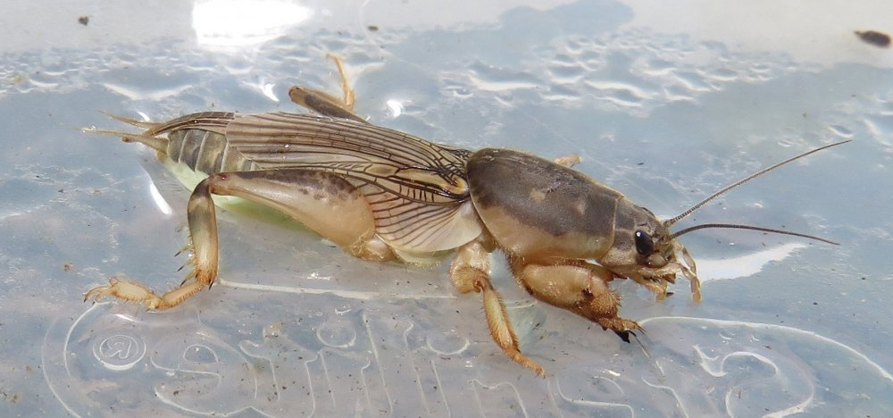 mole-cricket.thumb.jpg.558959c4f867b9af011cd0fb2d3ded0e.jpg