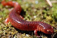 Red_Salamander.jpg.b9784d02872037c6f2a9237f0bc777c6.jpg