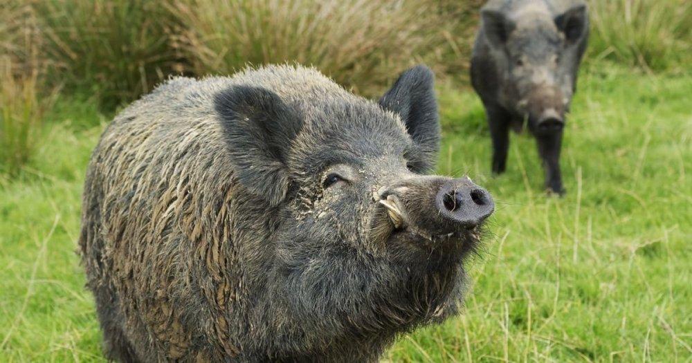 wild-boar-05.thumb.jpg.6c72f022176c97d54b1170ddc82c2802.jpg