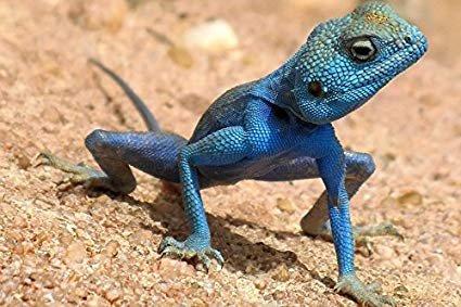 refrence lizard.jpg