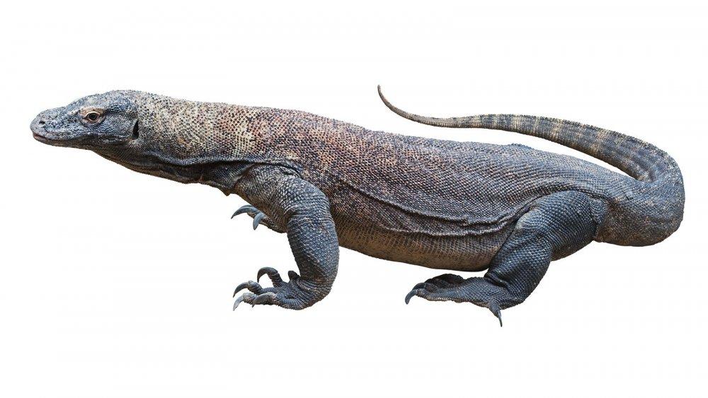 komodo-dragon-3.jpg