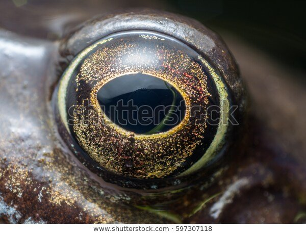 extreme-detailed-close-eye-frog-600w-597307118.jpg.25b7a82c52a95ba4ddee7db0a295c9cb.jpg