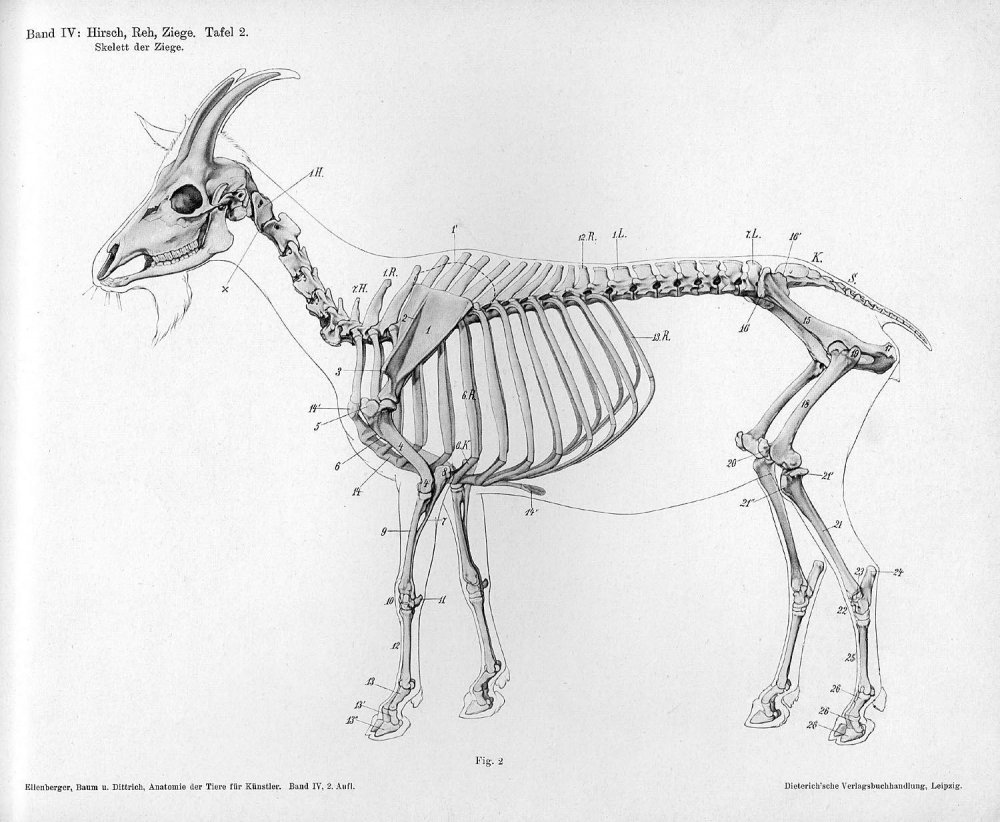 Goat_anatomy_lateral_skeleton_view.thumb.jpg.4f892655082023761261e70460b3641b.jpg