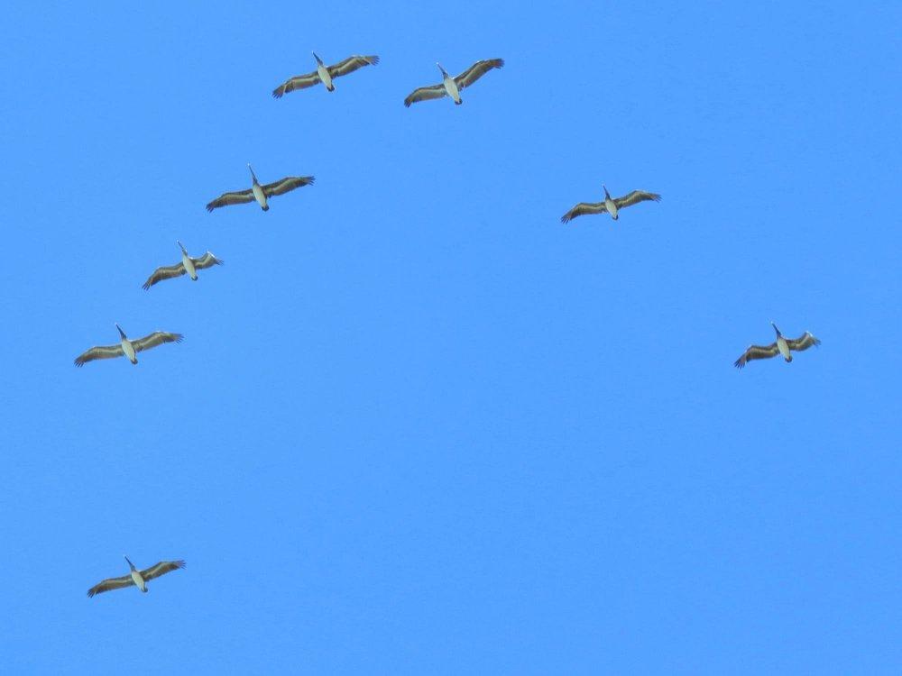 brown_pelican_-_drake_bay_.jpg