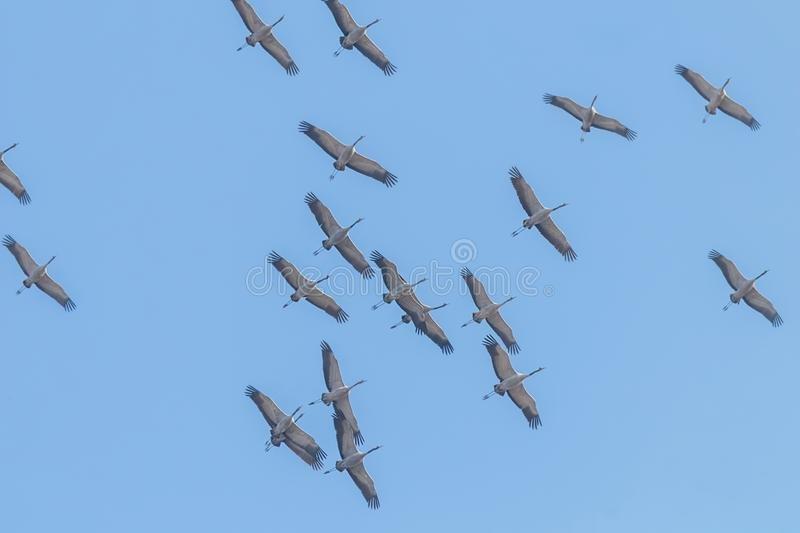 flying-flock-common-crane-grus-flight-blue-skies-migration-140625647.jpg.b45f4e77c0aedb6432a08b710e0fbc19.jpg