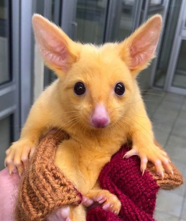 rare-baby-golden-possums-1-2-5ec623cdaf24f__700.thumb.jpg.1def8c30926129e91c3aa6a5e1c29ad6.jpg