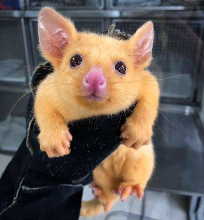 rare-baby-golden-possums-1-4-5ec623d18f8c7__700.thumb.jpg.3f067bc41b0ad6e2016fa5fd4b1a611c.jpg