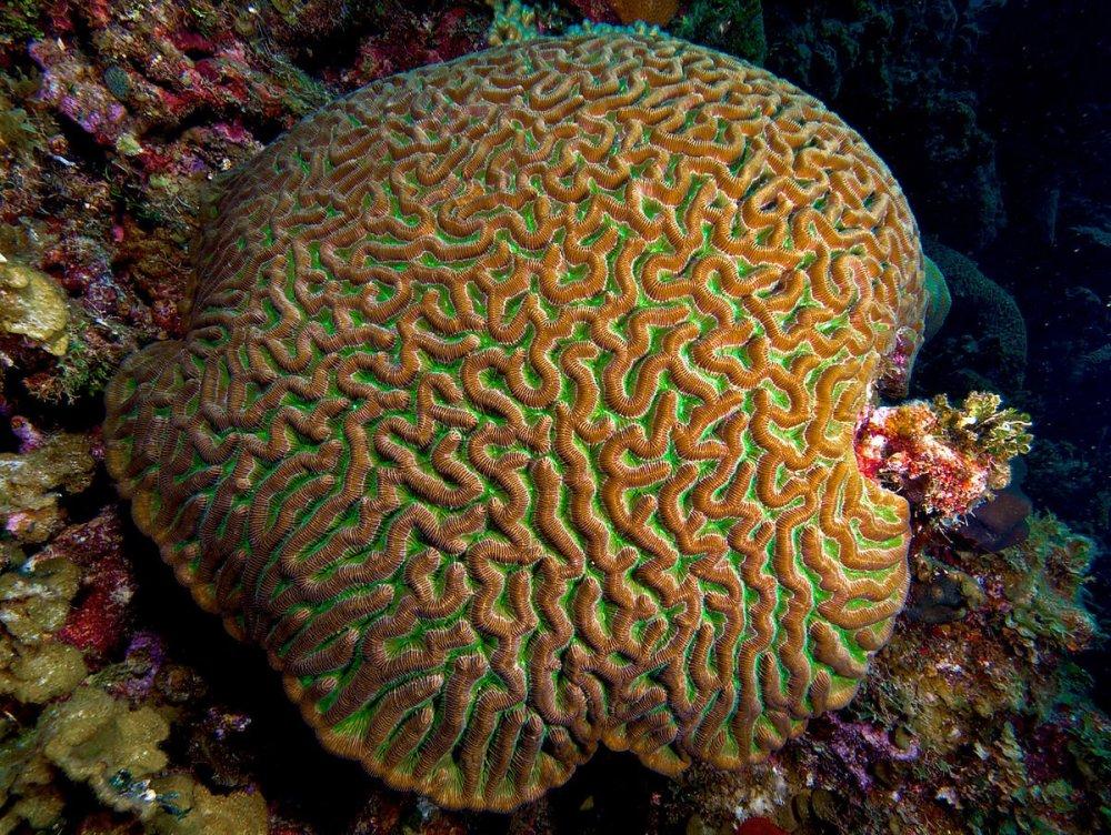 1200px-Colpophyllia_natans_(Boulder_Brain_Coral)_entire_colony.thumb.jpg.5dc16ea54261b40179e6d7aeee6bd102.jpg