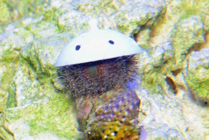 sea-urchins-tiny-hats-5fbbaeafc790a__700.jpg.5062dbb40718f7c608ba8f98e3cb0ba8.jpg