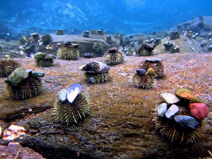 sea-urchins-tiny-hats-7-5fbba973bd5ad__700.jpg.82c6c6625da214a06ed48a08d6b93b51.jpg