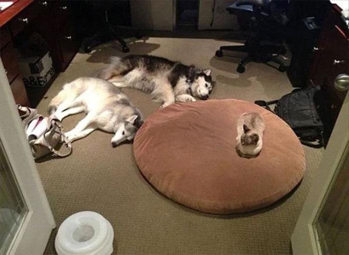 1184555743_funny-cats-stealing-dog-beds-8-5eb5664aca46a__700(1).jpg.d242d5f946f410a96096e2f424333a89.jpg