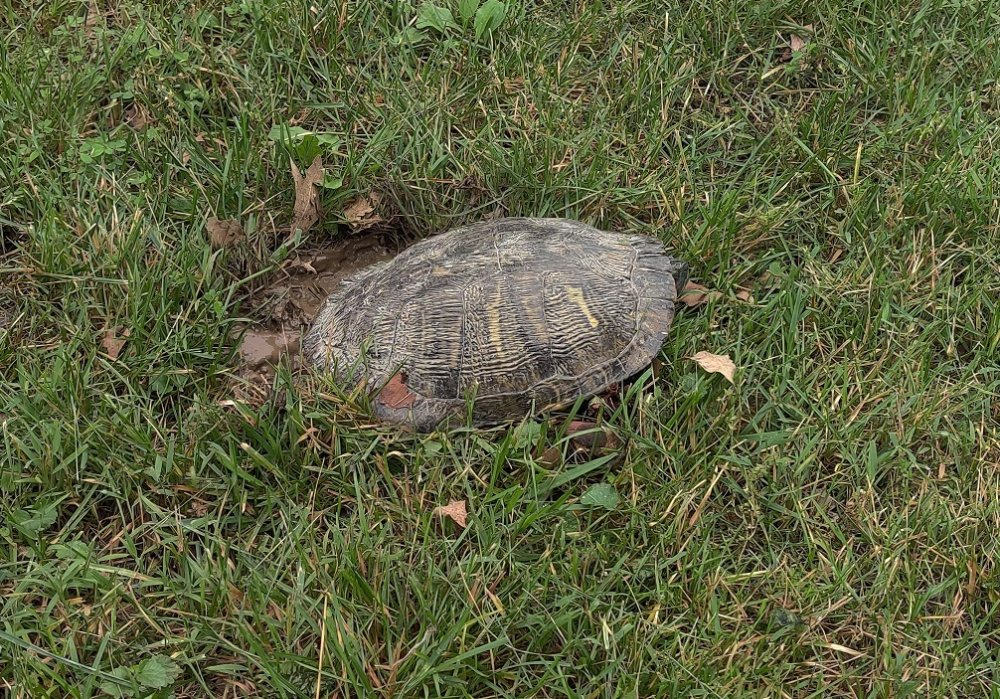 Turtle2.thumb.jpg.fdd8a670bf20adf009e9ed3c2e09cbd1.jpg